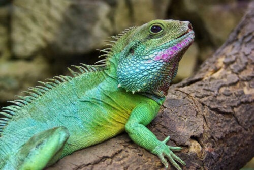Chinese Water Dragon: Breeding and Care