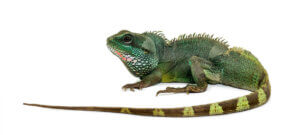 A Chinese water dragon on a white background.
