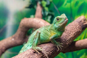 A Chinese water dragon on a branch.
