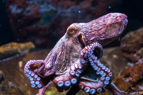 Some Curiosities About the Octopus