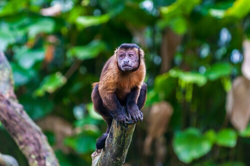 Black-capped capuchin monkey on a branch.