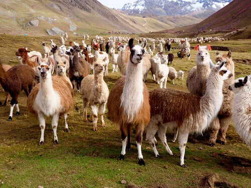 The Differences Between Llamas and Alpacas