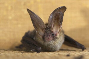 Another of the 5 bat species: the grey long-eared bat.