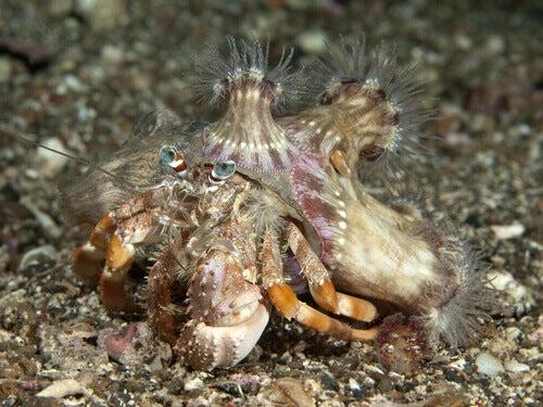 Hermit crab: diet.