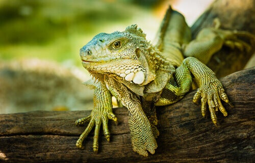 How to adopt an exotic animal: an iguana in a tree.