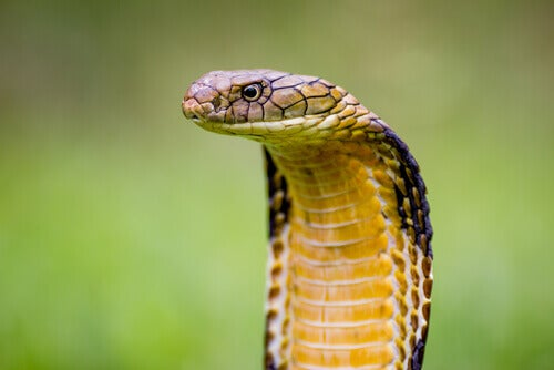 A king cobra with flared hood.