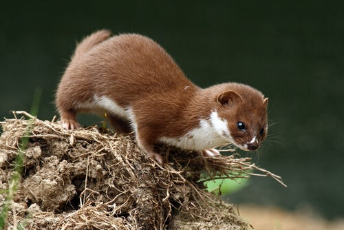 Discover 5 Weasel Species