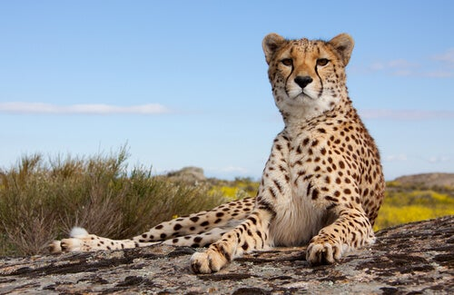 A leopart lying on a rock, looking attentive.