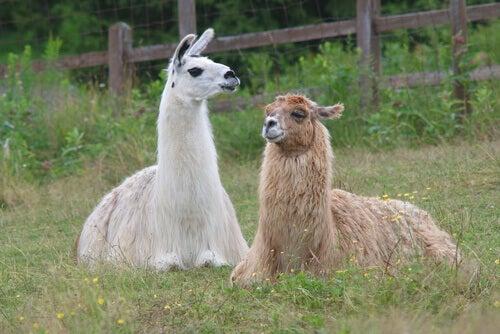 Two llamas in a field.