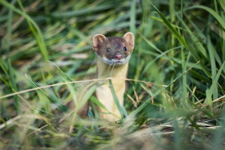 The long-tailed weasel.