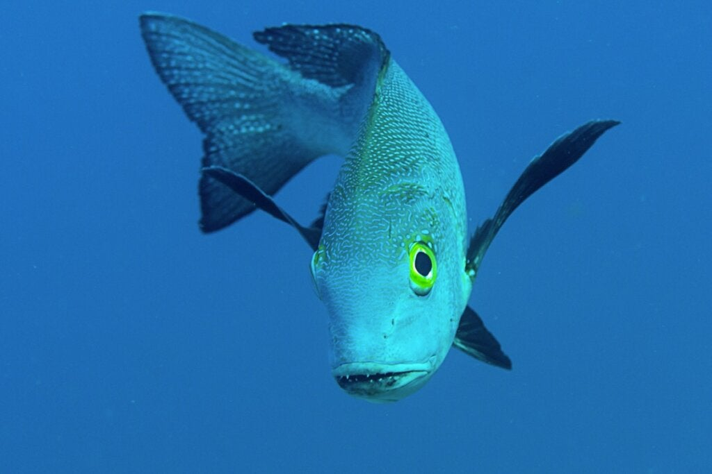 Macolor Macularis, the Oldest Fish in the World