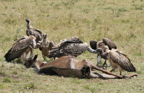 Vultures feasting on a carcass.