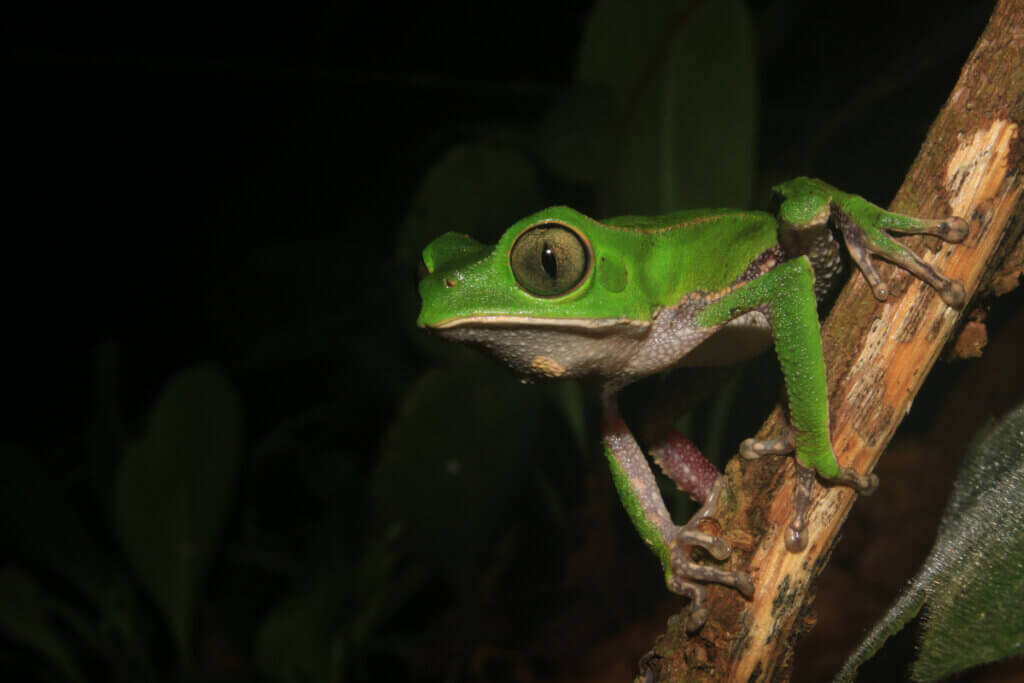 Monkey Frogs: Habitat and Characteristics