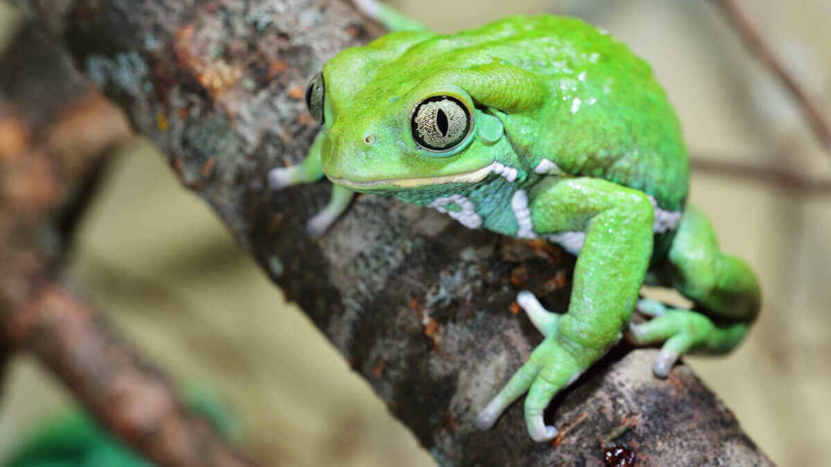 Monkey frog ready to jump.