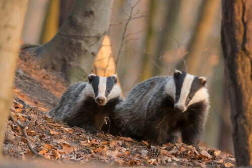 Two badgers in a forest.