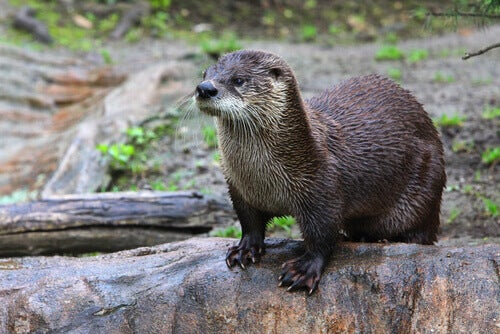 An otter on a riverbank.