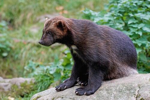 Mustelids: a wolverine on a rock.
