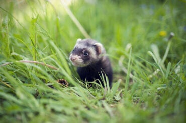 What Are Mustelids?