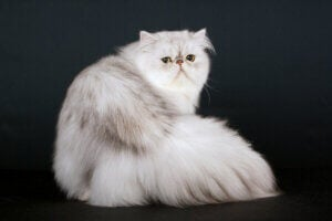 A Persian cat looking at the camera.