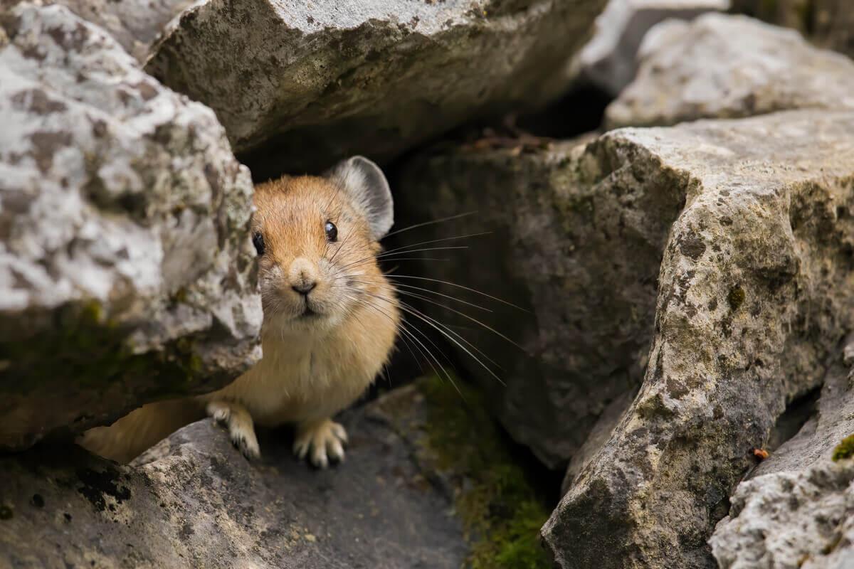 A whistle rabbit among rocks.