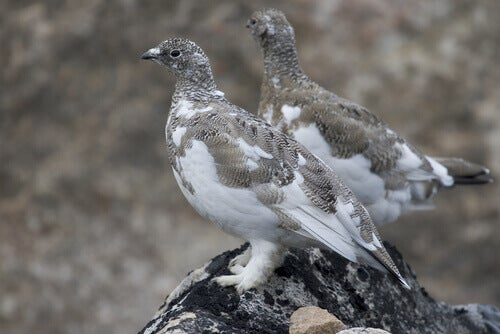Two ptarmigans on a rock.