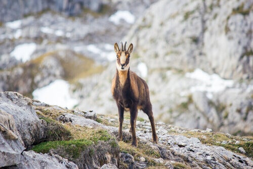 The fauna of the Pyrenees: a Pyrenean chamois.