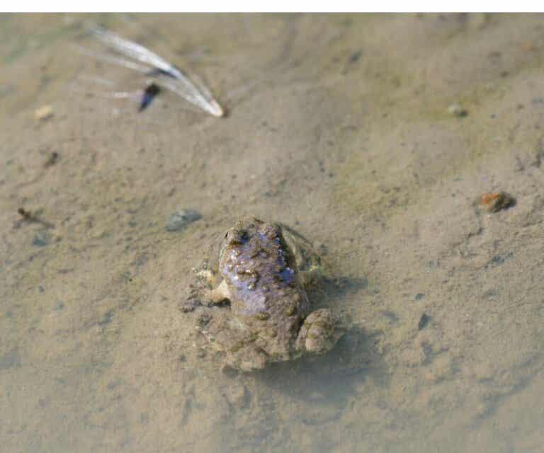 Hall's Water Frog, a Rediscovered Species