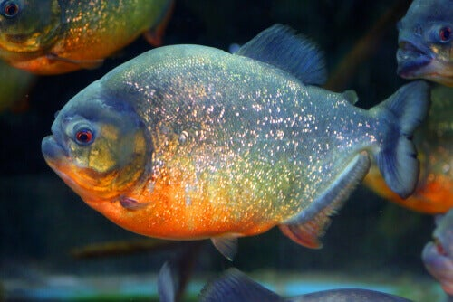 The Amazon Rainforest and its fauna: red-bellied piranha.
