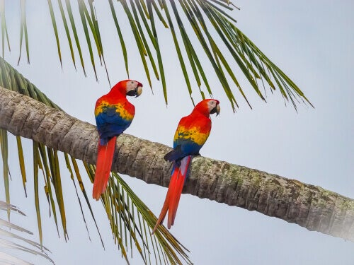 Scarlet macaw lives in the Corcovado National Park.