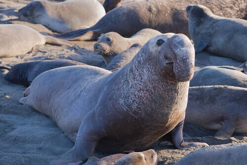 The face of an elephant seal.