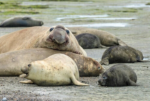 A group of elephant seals lying on the sand.