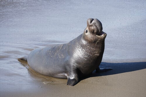The Elephant Seal, a Lifetime in the Cold