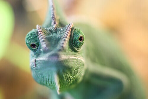 A close up a of a chameleon's face.