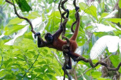 Primates: habitat of the spider monkey.