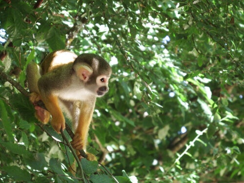Squirrel monkey and other primates are friends.