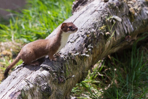 The stoat or short-tailed weasel.