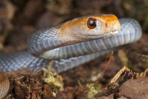 The Taipan snake.