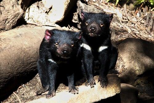 A few Tasmanian Devils.