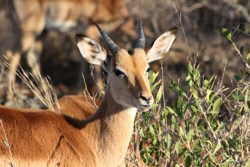 An impala in a field.