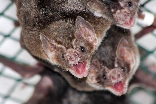 Aggressive vampire bats.