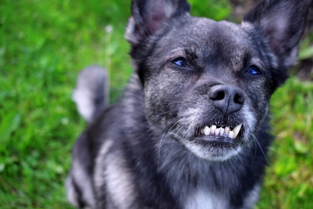 Dental Malocclusion in Dogs: Causes, Consequences and Treatments