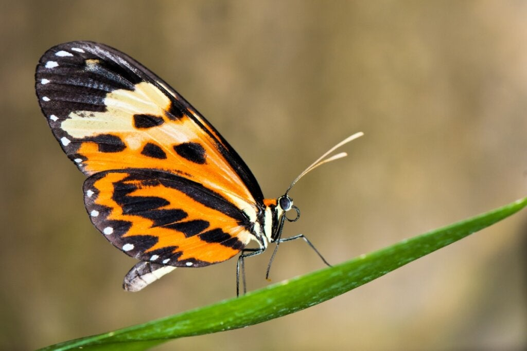 Can Butterflies Change the Color of Their Wings?