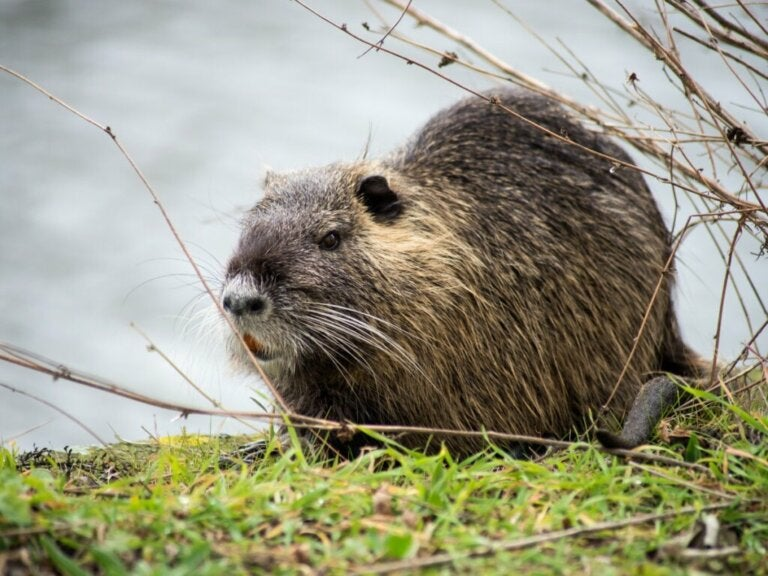 5 Differences Between Beavers and Coypus