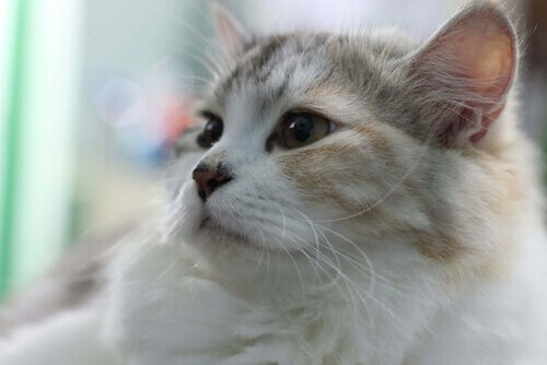 Does Your Cat Cough? It Could Be Feline Asthma