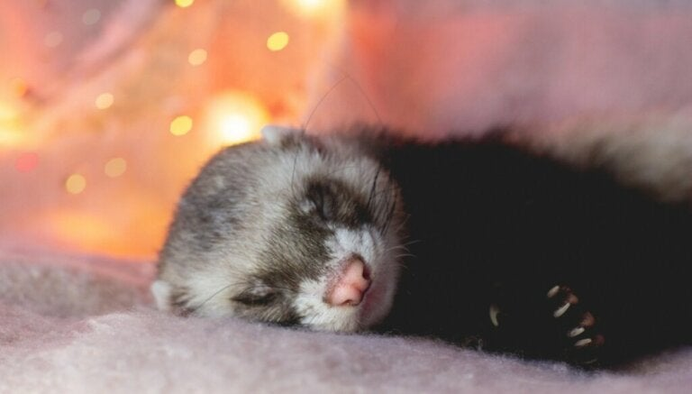 How to Bathe Your Ferret Correctly