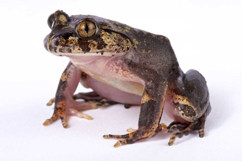 Do Frogs with Hair Exist?