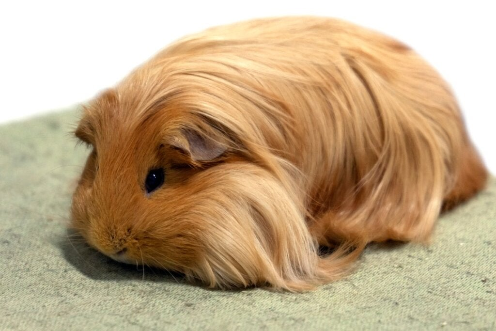 Sheltie Guinea Pig: Characteristics, Feeding and Care