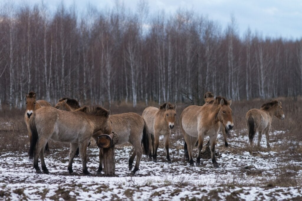 The Chernobyl Horses: How Do They Survive?