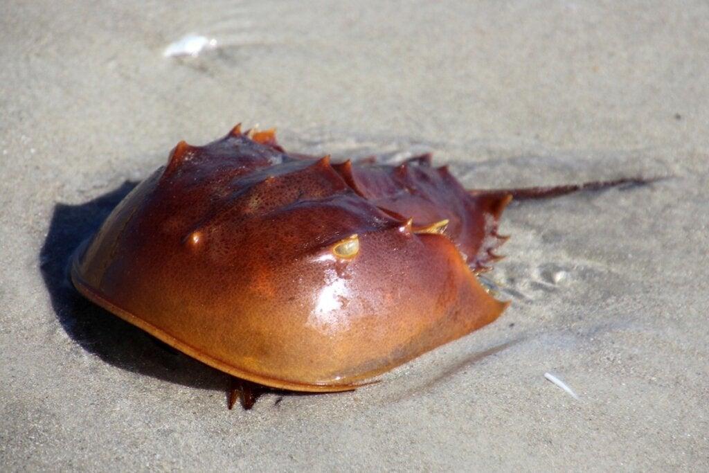 Horseshoe Crab: Characteristics and Curiosities
