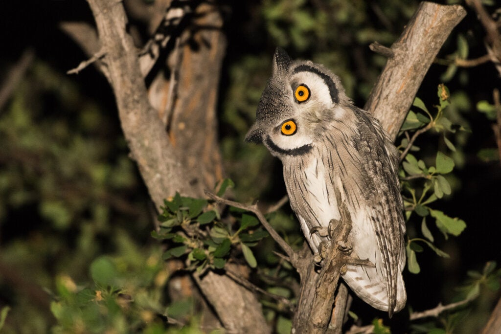 How Do Owls Turn Their Heads?
